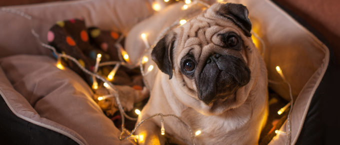 Tips & Tricks to Keep Your Dog Calm and Relaxed During the Holidays | MaxDaddy CBD Oil Products for Pets